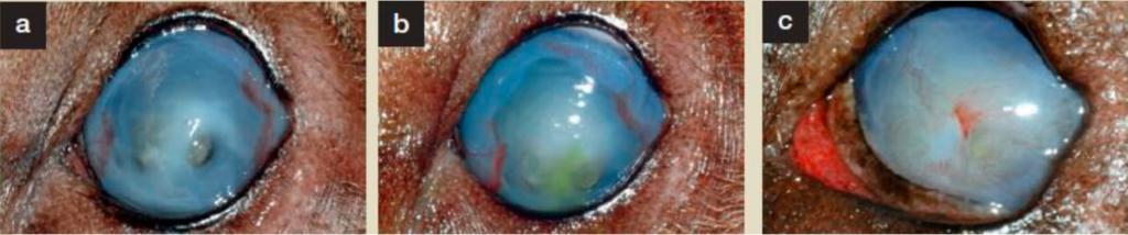 Desarrollo y curación de una infección ocular con Brinasan.